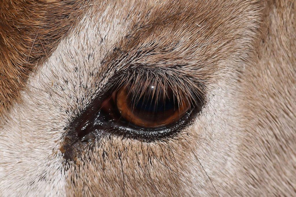 L'addax, ou antilope à nez tacheté