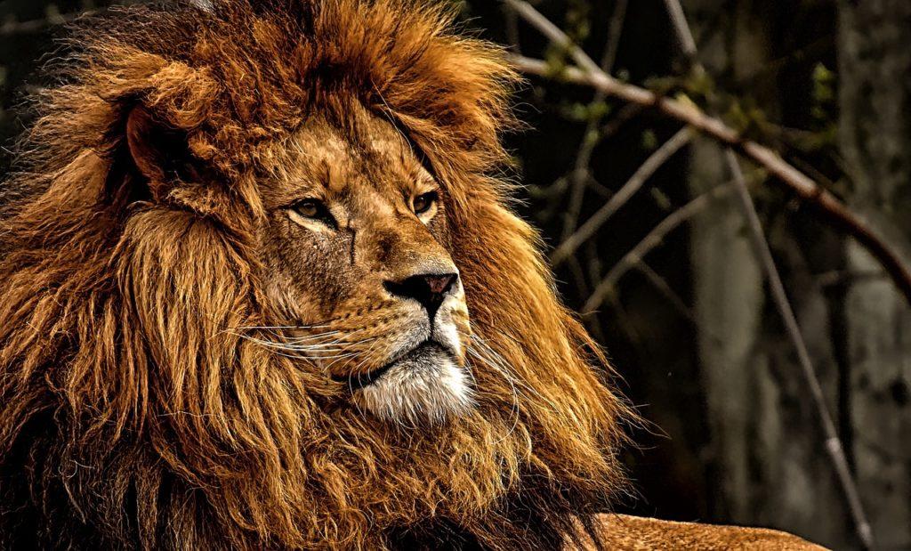 Le lion d'Afrique