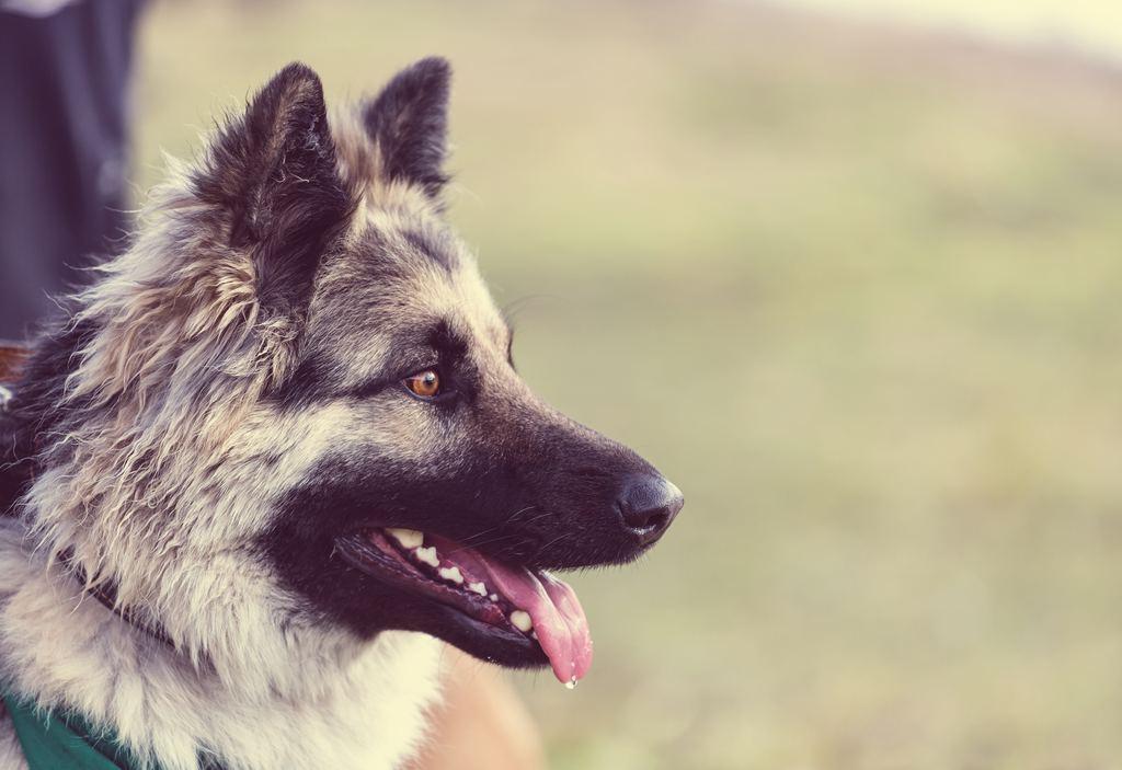 Chien (canis lupus familiaris)